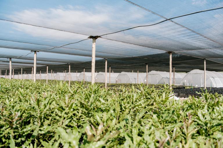 Macadamia Nursery Trees