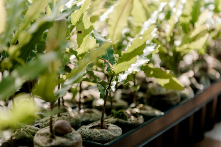 T&T Horticulture Macadamia